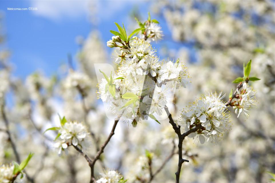 Wild Plum Branches