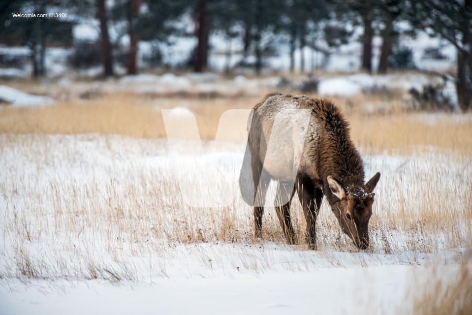 Young Elk in Winter
