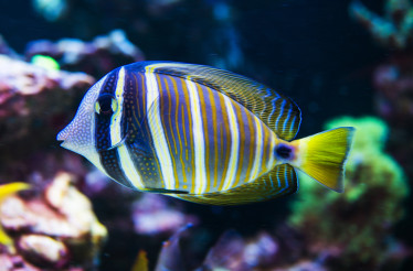 Tropical Yellow And Blue Striped Fish Swiming In Coral Reef.