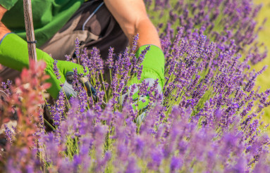 Close Up Of Field Of Lavender Flowers Cut By Gardener.