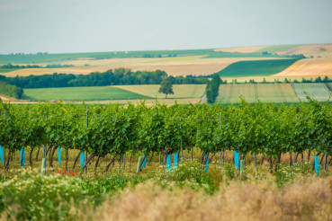 Panorama Of Vineyard Plantation In Austrian Countryside.