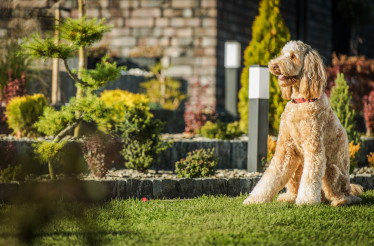 Obedient Goldendoodle Dog Sitting Down On Grass.