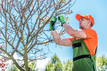 Gardener Pruning Tree With Hand Clippers.