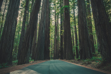 A Road Through the Giant Redwood Forest