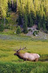 Adult Deer in Colorado