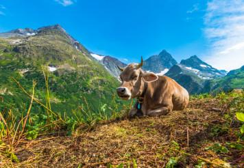 Alpine Region Cow