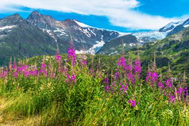 Alpine Wildflowers Scenery
