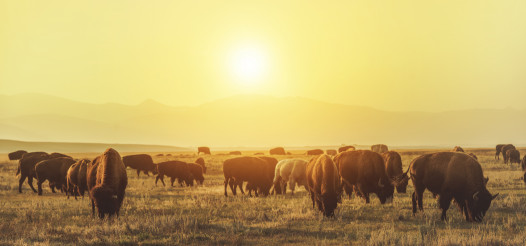 American Bison Herd on the Sunny Colorado Prairie