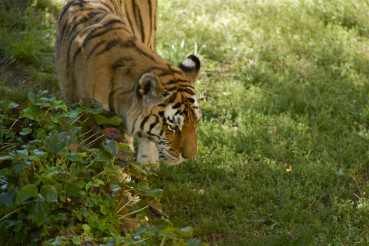 Amur Tiger Walk