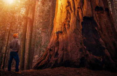 Ancient Sequoia Forest Explorer