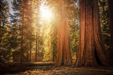 Ancient Sequoia Woodland