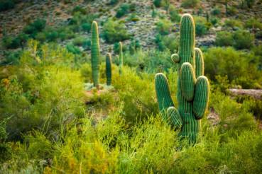 Arizona Desert Cactuses