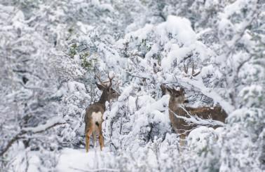Arizona Mule Deers in Winter