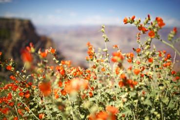 Arizona Red Flowers