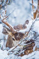 Arizona Winter Mule Deer