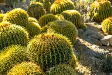 Ball Cactuses