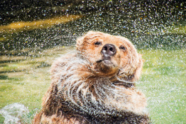 Bear Shaking Off Water