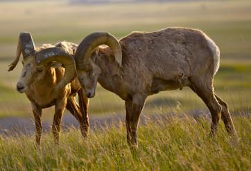 Bighorn Sheeps in Love