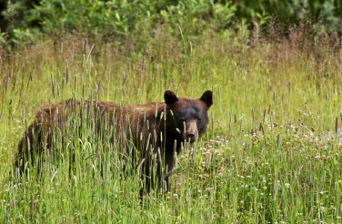 Black Bear in Summer