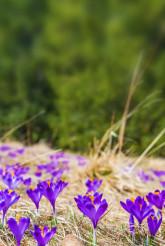 Blooming Crocus Background