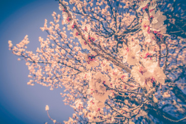 Blossom Tree Branches
