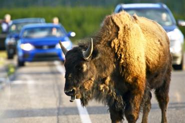 Buffalo on the Road