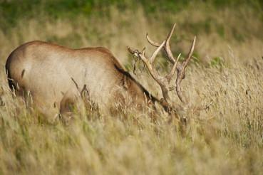 California Elk in Grass