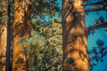 California Giant Sequoias