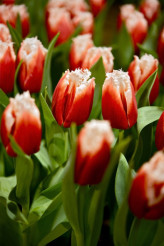 Canasta Tulips