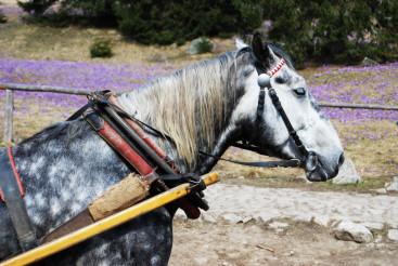 Cart Horse Closeup