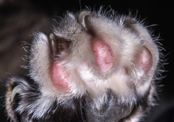 Cat Paw With Pads And Sharp Claws.