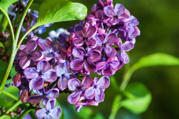 Close Up of Violet Pinky Flowering Lilac