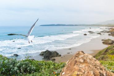 Coastal California Sea Gull