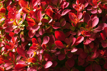 Color Reach Red Leaves of Decorative Plant
