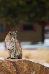 Colorado Bobcat