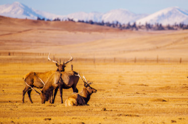 Colorado Mountains Elks