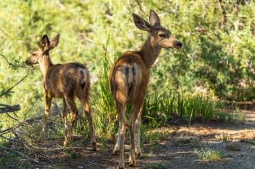Colorado Wild Deers