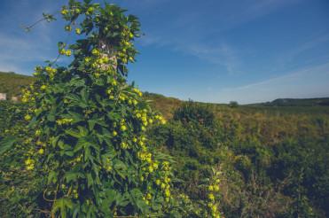 Common Hop or Hops Species