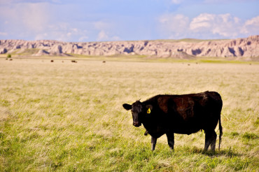 Cow on Prairie
