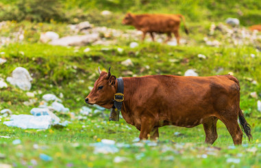 Cows on Side of the Mountain