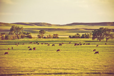 Cows on Summer Pasture