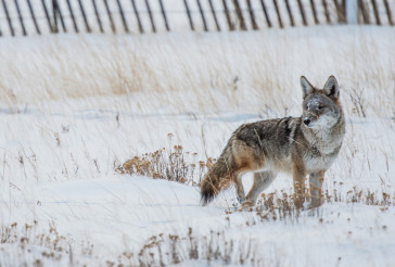 Coyote Winter Hunt