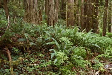 Deep Forest with Ferns