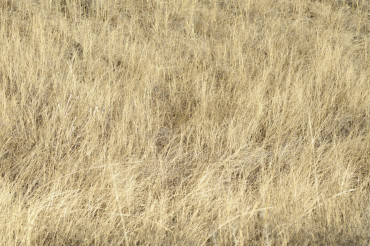 Dry Grasses During Drought