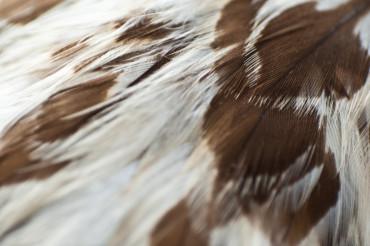 Eagle Feathers Closeup