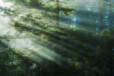 Early Morning Redwood Forest Mist