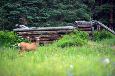 Elk and Old Cabin