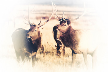Elks Faded to White