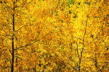 Fall Foliage with Aspen Trees