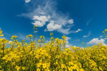 Flowering Rapeseed Field